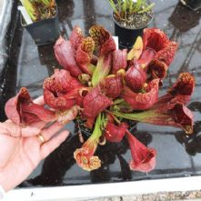 SH065 Sarracenia x courtii giant